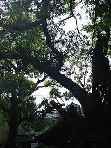 クスノキの枝.jpg