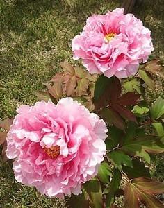 牡丹の花 (2).jpg